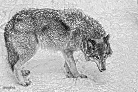 _mg_0562_wolffullstaretonedgs