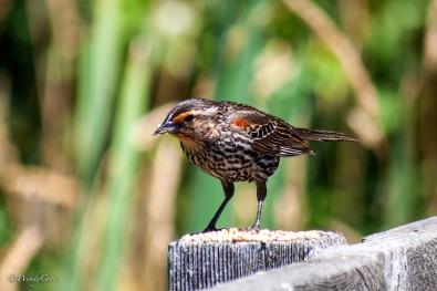 IMG_2079_Female_Red-wingedBlackbird6X4